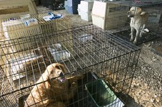 Dogs rescued after Hurricane Katrina in a FEMA holding area.